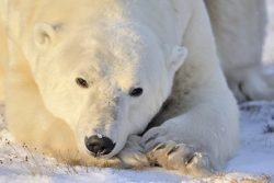 What can polar bears teach us about fitness